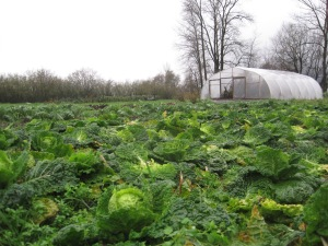savoy cabbage at season's end